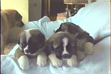 Midge and Cujo's pups