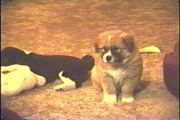 St. Bernard looking female pup